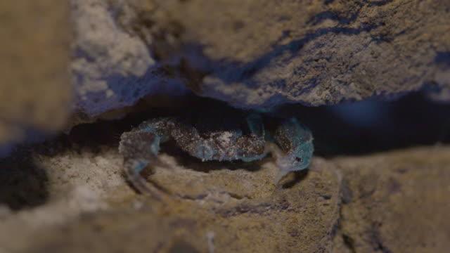 a uv light illuminates a european yellow tailed scorpion (euscorpius flavicaudis) sheltering in a stone wall. - tierisches exoskelett stock-videos und b-roll-filmmaterial
