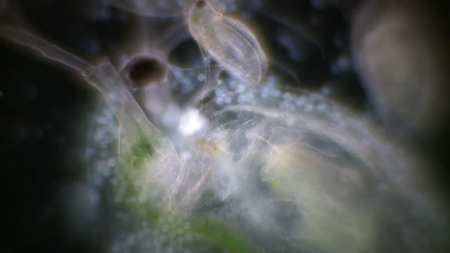light micrography of daphnia restrained in a live box. - protozoan stock videos and b-roll footage