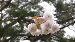 Light pink double cherry blossoms