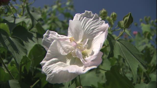 a light pink hibiscus mutabilis bloom sways in the wind . - eibisch tropische blume stock-videos und b-roll-filmmaterial