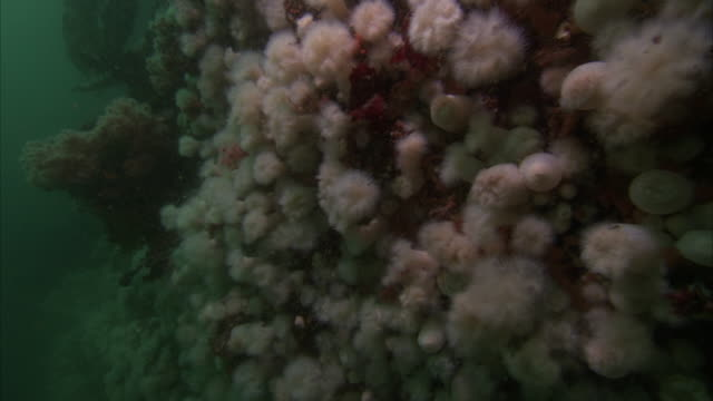 light pink nodules are on the side of the pacific reef. - lymphknoten stock-videos und b-roll-filmmaterial