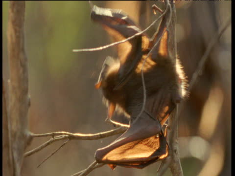 Light shines through the wings of a juvenile Flying Fox clambering in tree, Australia