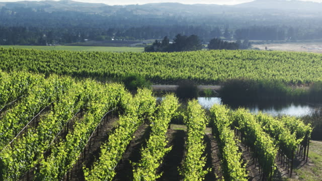 Light Shining Through Vine Leaves in Northern California Vineyard - Drone Shot