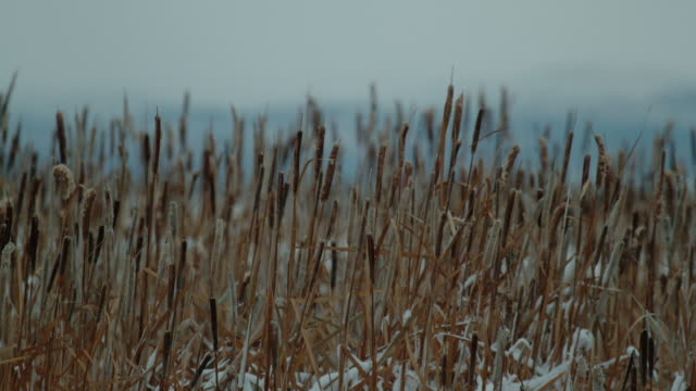 light snowfall cattails slow motion - bulrush stock videos & royalty-free footage