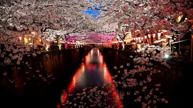 light up cherry blossom sakura at meguro river - giappone video stock e b–roll