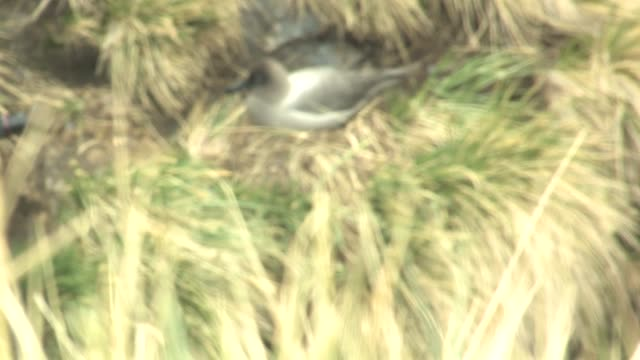 ms, r/f, light-mantled sooty albatross (phoebetria palpebrata) on nest in grass, south georgia island, falkland islands, british overseas territory - insel south georgia island stock-videos und b-roll-filmmaterial