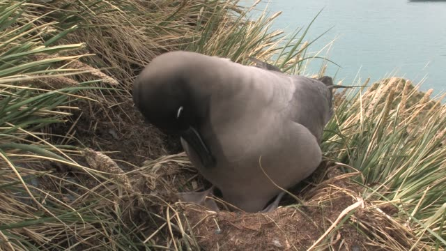 cu, light-mantled sooty albatross (phoebetria palpebrata) on nest in grass, south georgia island, falkland islands, british overseas territory - insel south georgia island stock-videos und b-roll-filmmaterial