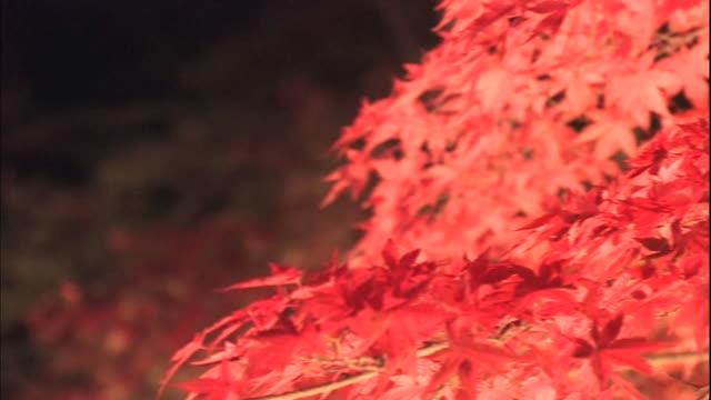 lights illuminate crimson leaves on a branch at tsukinoishi momiji park at night. - branch stock videos & royalty-free footage