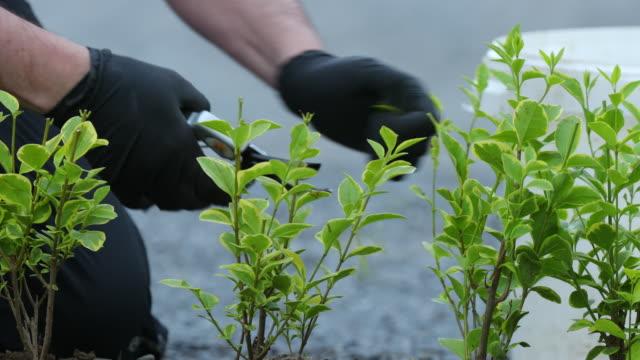 vidéos et rushes de ligustrum ovalifolium aureum pruning - gant de jardinage