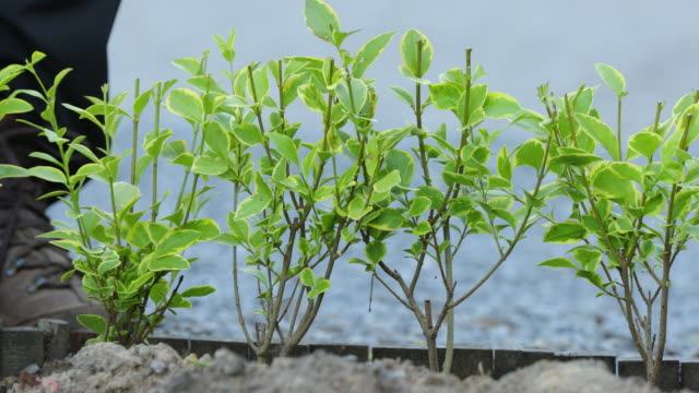 vidéos et rushes de ligustrum ovalifolium aureum - gant de jardinage