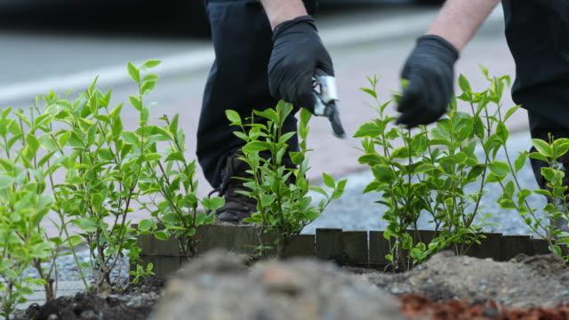 ligustrum ovalifolium aureum - pruning shears stock videos and b-roll footage
