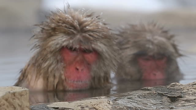 like much of the country the jigokudani yaenkoen monkey park has been in the grip of a big freeze lately but the chilly conditions are no problem for... - jigokudani monkey park stock videos & royalty-free footage