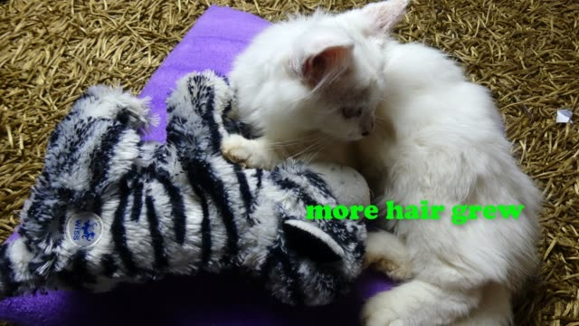 like the legend story of the ugly duckling, sefid was rejected as a kitten but now, he has grown to be a super cute, adorable, lovely cat. when sefid... - big hair stock videos & royalty-free footage