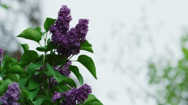 a lilac bush in spring under an overcast sky - floral pattern stock videos & royalty-free footage