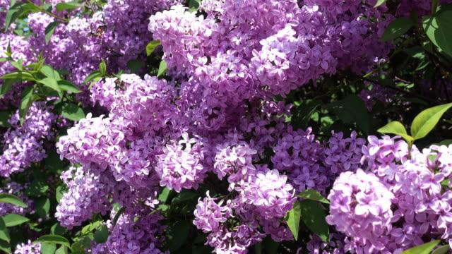 Bush na Primavera lilás