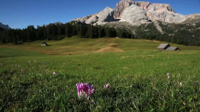 HD lilla Croco in montagna pascolo (Carrellata)
