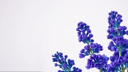 Lilac timelapse blooming. Unusual color. Copy space background