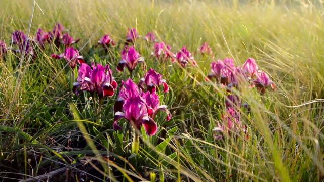 lilac wild irises in nature - iris plant stock videos & royalty-free footage