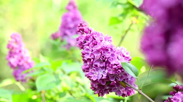 stockvideo's en b-roll-footage met lilacs. - mei