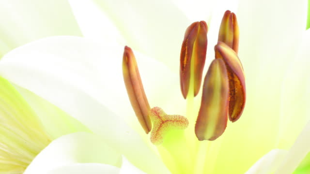 Lilium blooming 4K