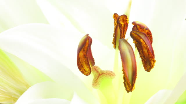 Lilium blooming