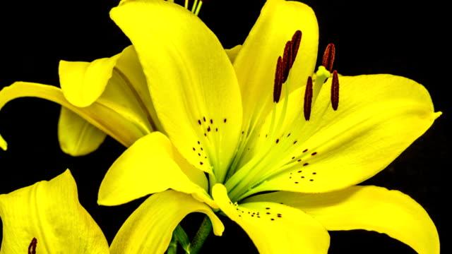 Lilium canadense blooming