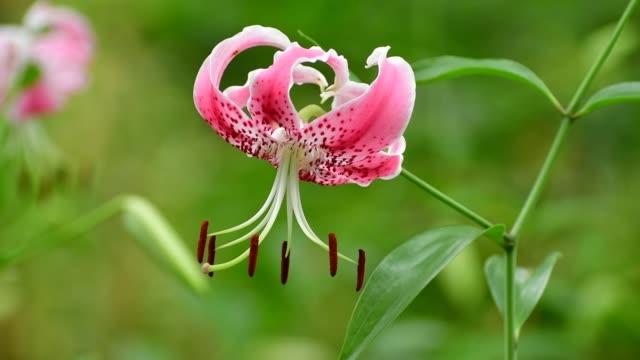 lilium speciosum / japanese lily - lily family stock videos & royalty-free footage