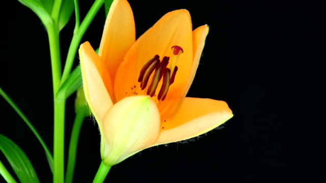 Liliums blühenden 4 K