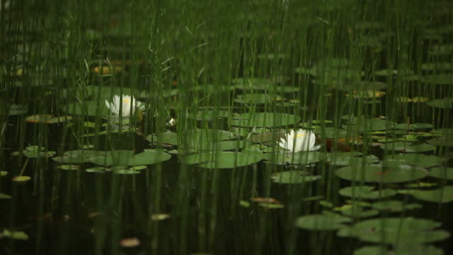Lillies Floating on Dark Water in Canadian Forest