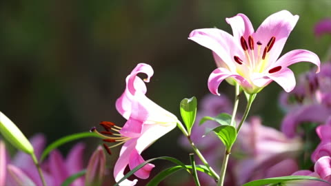 lilly flower. - lily stock videos & royalty-free footage