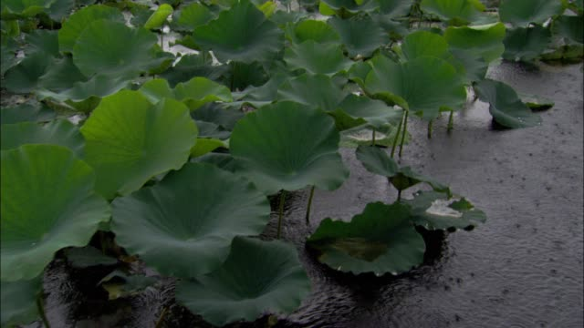 vídeos y material grabado en eventos de stock de lilly pads move during a rainstorm. - nenúfar