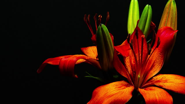 lily blooming - stamen stock videos & royalty-free footage