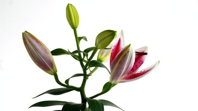 vidéos et rushes de lily fleur éclosion d'une fleur en accéléré - lis