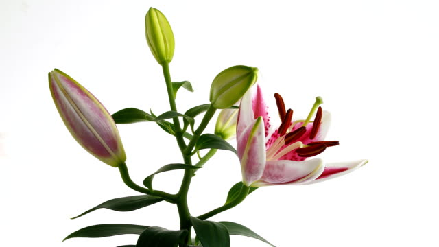 lily flower blooming time lapse - bouquet stock videos and b-roll footage