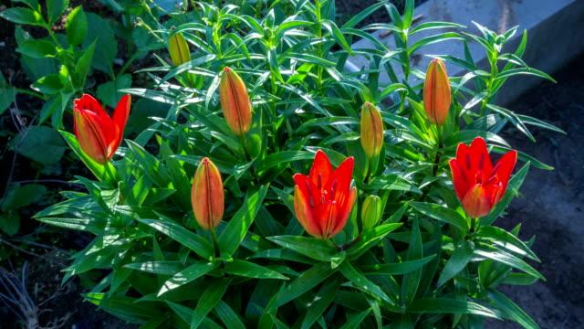 lily flower blooming - オニユリ点の映像素材/bロール