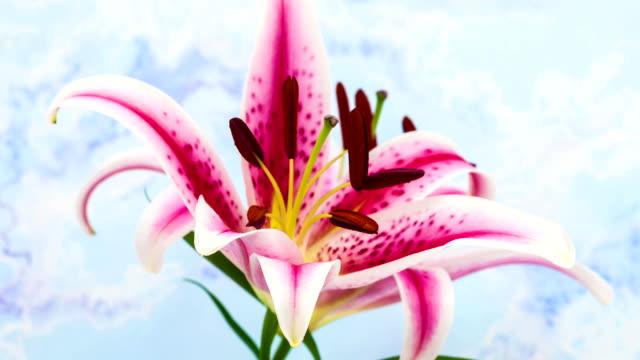vidéos et rushes de fleur de lis - lis