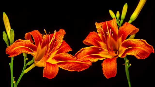 vídeos y material grabado en eventos de stock de lily flor de - pistilo