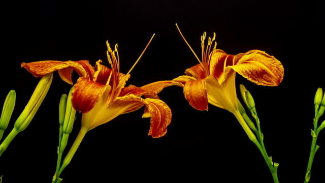 lily flower - filament stock videos & royalty-free footage