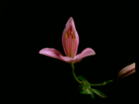 T/L Lily Flowers - bud opens to pale pink flower, black background