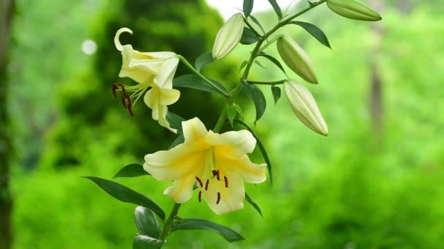vídeos de stock e filmes b-roll de lily / lilium flower - pistilo