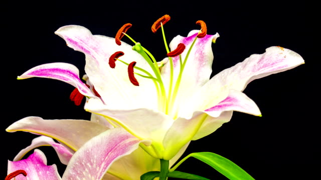 lily oriental gracia - filament stock videos & royalty-free footage