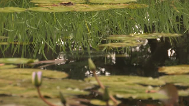 lily pads and cattails grow in a pond. available in hd. - bulrush stock videos & royalty-free footage