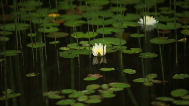 Lily Pads and Flowers Floating on Surface of Lake