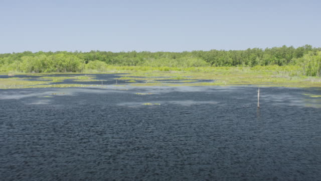 WS AERIAL POV Lily pads and pine trees in Francis Marion National Forest / Berkeley County, South Carolina, United States