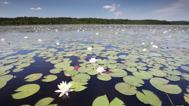 Lily pads float in scenic lake, wide