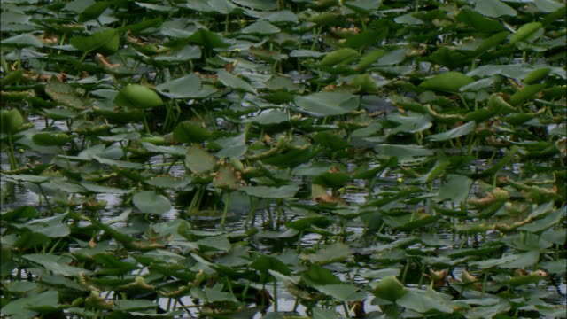 lily pads flutter in a breeze. - lily stock videos & royalty-free footage