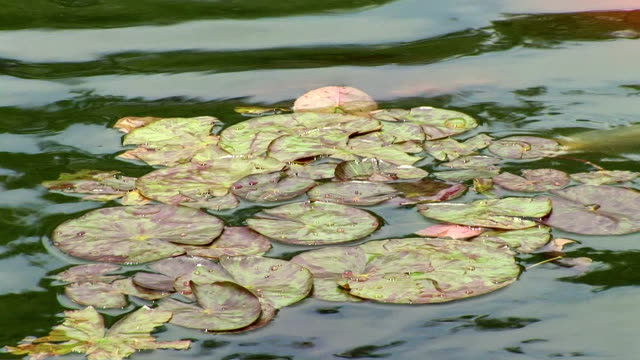 lily pads in koi pond - aquatic organism stock videos & royalty-free footage