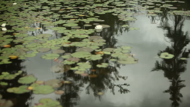 Lily Pads Obscuring Pine Tree Reflection on Canadian Lake