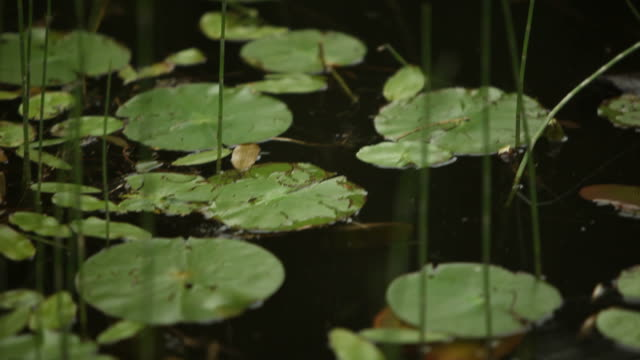 Lily Pads on Water in Canadian Wilderness