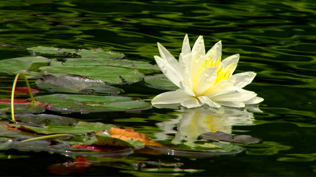 lily pads - aquatic organism stock videos & royalty-free footage